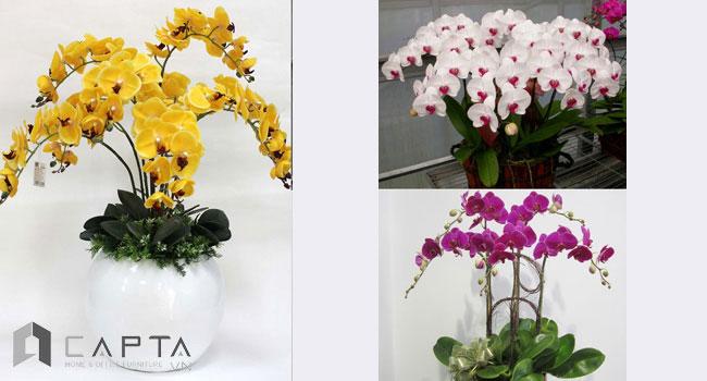 hoa phong lan trong nhà